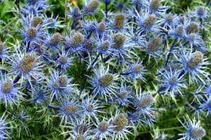 Read more about the article Should You Deadhead Sea Holly?