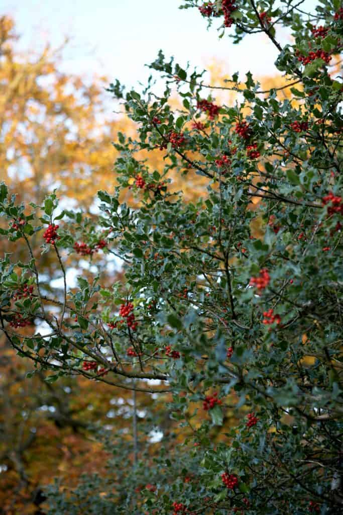 Gorgeous Christmas holly bush with red berries photographed at dusk