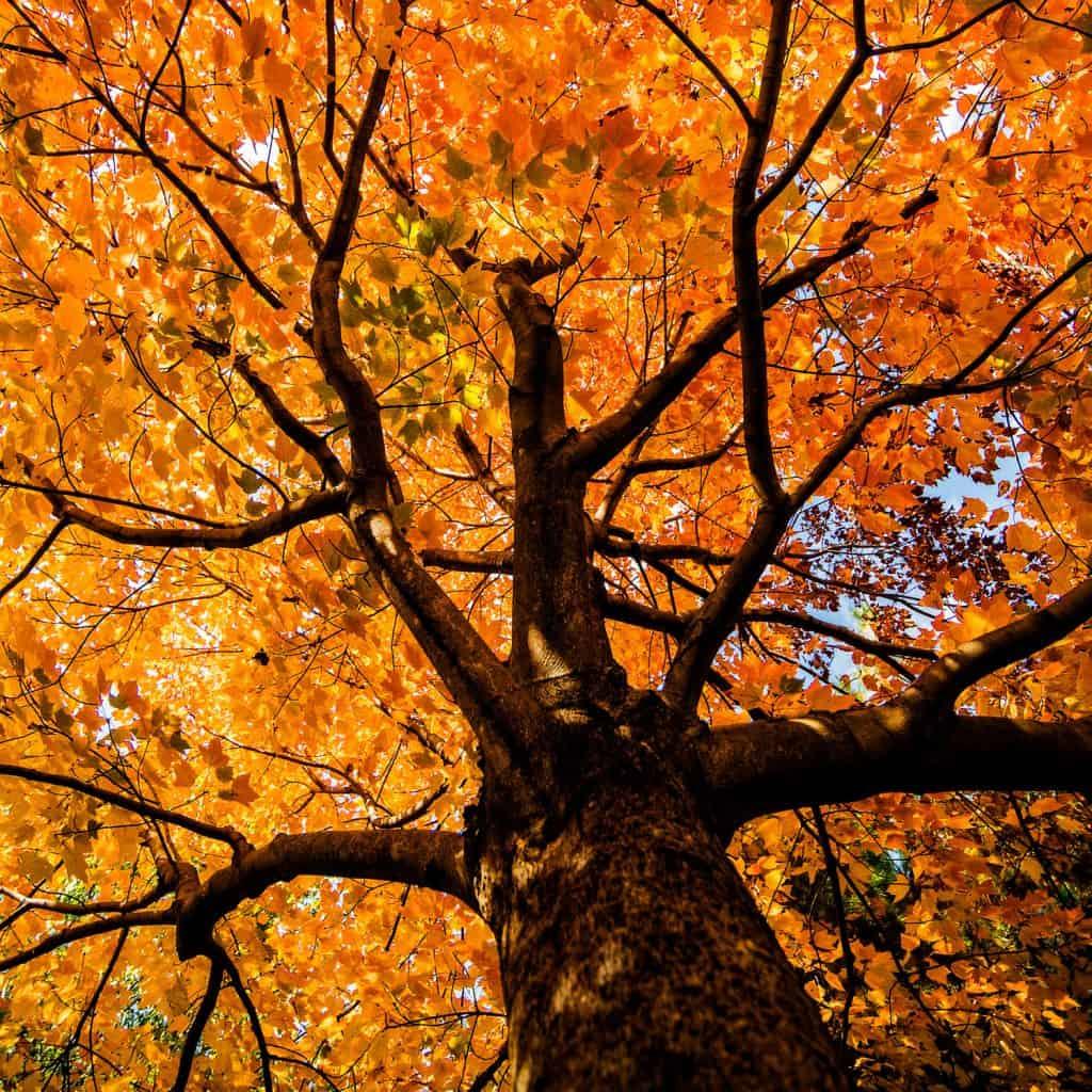 Gorgeous orange leaves photographed underneath a maple tree