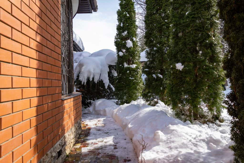 Hedge of Thuja occidentalis Smaragd along footpath near brick wall of country house. Sunny winter day. Close-up. Snowdrifts in evergreen landscaped garden. Nature concept for landscape design.