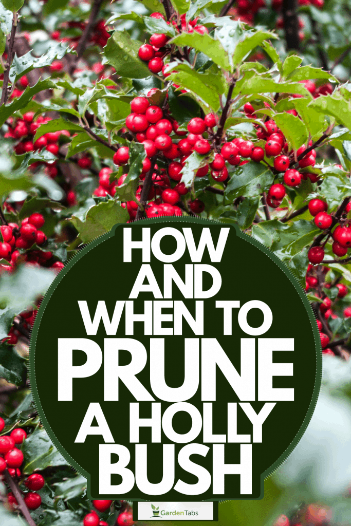 Red berries of an Ilex aquifolium photographed up close, How And When To Prune A Holly Bush