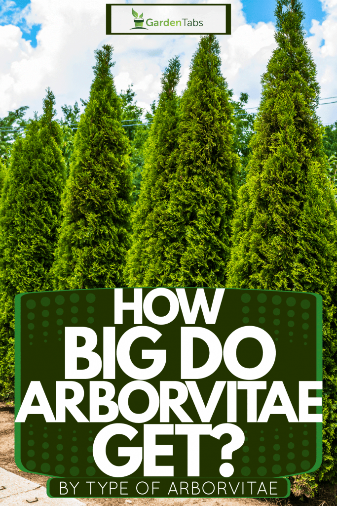 A huge line up of a tall arborvitaes for landscaping at a private residential area