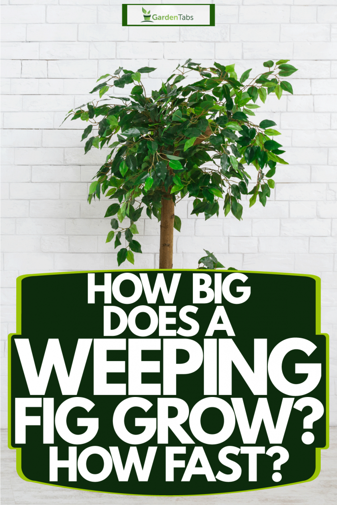A weeping fig tree planted on a tall wooden pot inside a white living room, How Big Does A Weeping Fig Grow? How Fast?