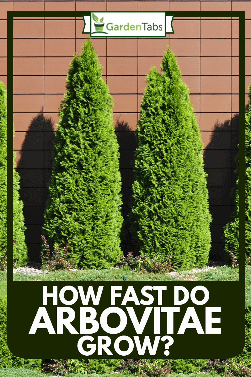 Row of green thujas on pink wall, How Fast Do Arborvitae Grow?