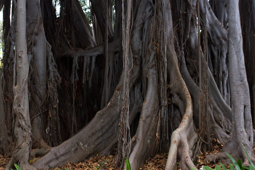 Huge tree roots of a huge weeping fig tree on the forest