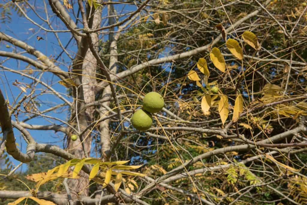 Juglans regia is a Deciduous Tree that Produces Walnuts in Autumn
