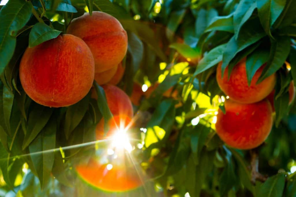 Juicy red peaches on the tree in an orchard.