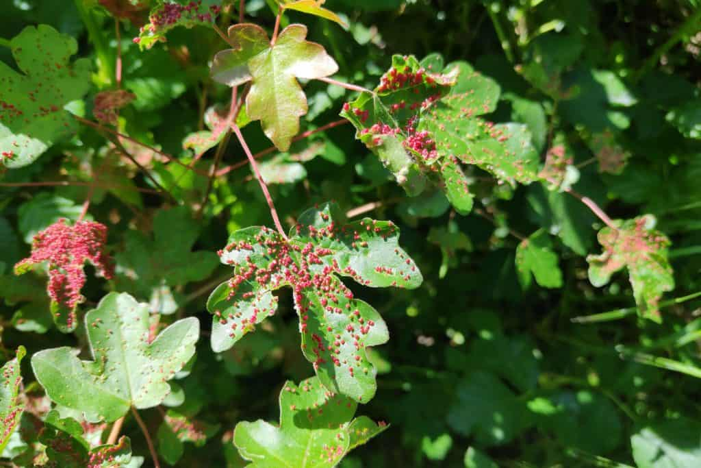 Leaf galls forming on maple tree leaves due to small mites crawling on the leaves