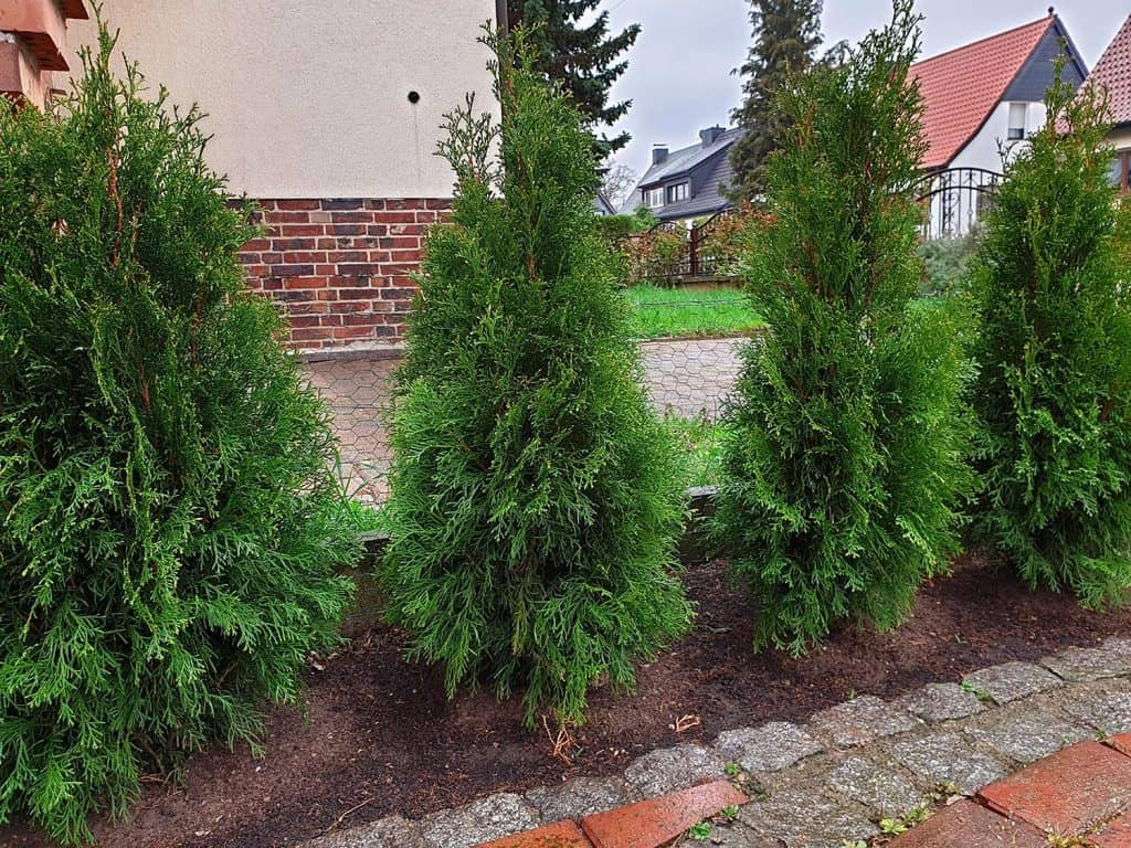 Life trees thuja as a hedge plant for the garden