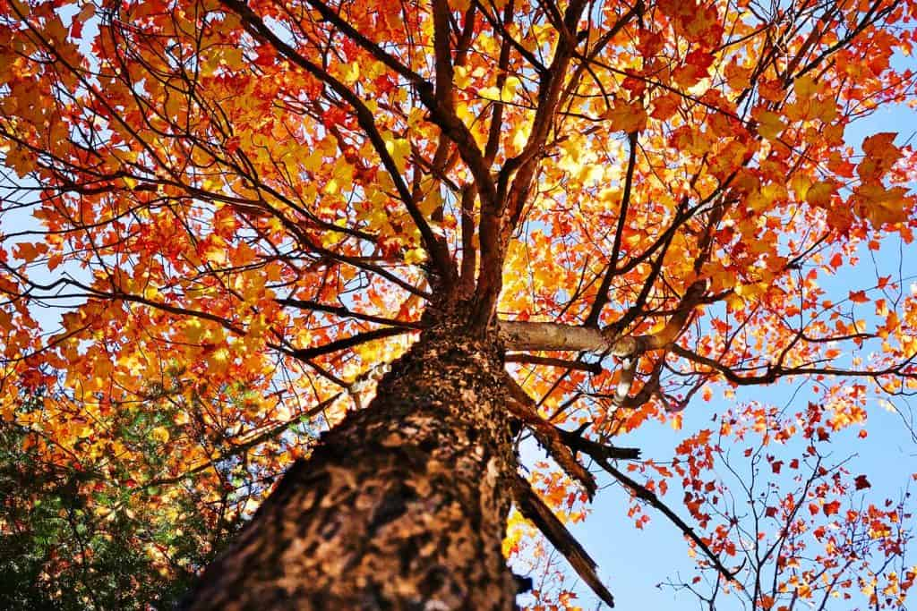 Looking up under a sugar maple tree during autumn