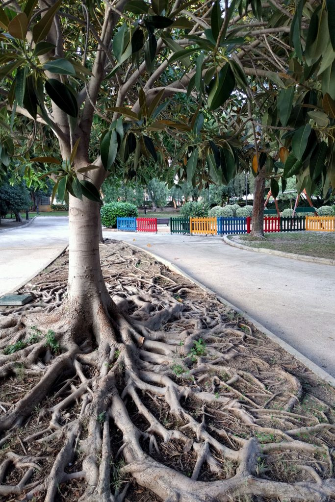 Lots of weeping fig tree plant the middle of a street