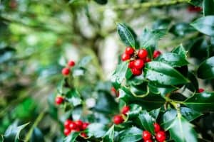 Read more about the article Do Holly Trees Need Full Sun?
