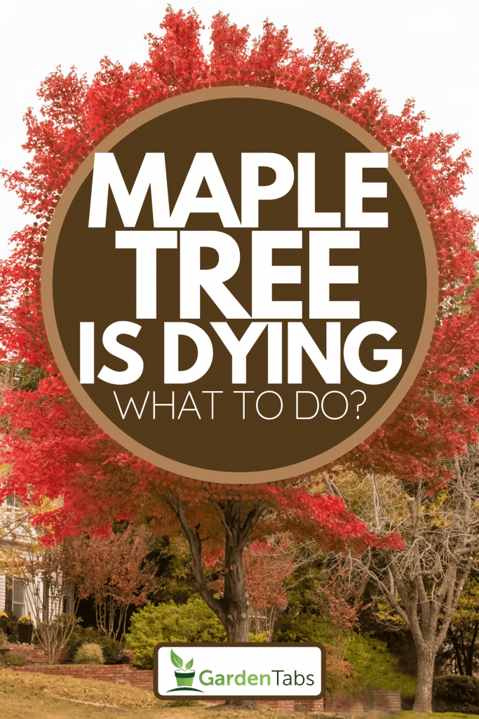 A brilliant maple tree in a front yard of a home, Maple Tree Is Dying - What To Do?