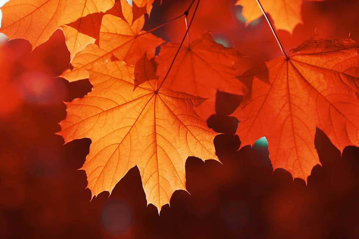 Maple red leaf in autumn