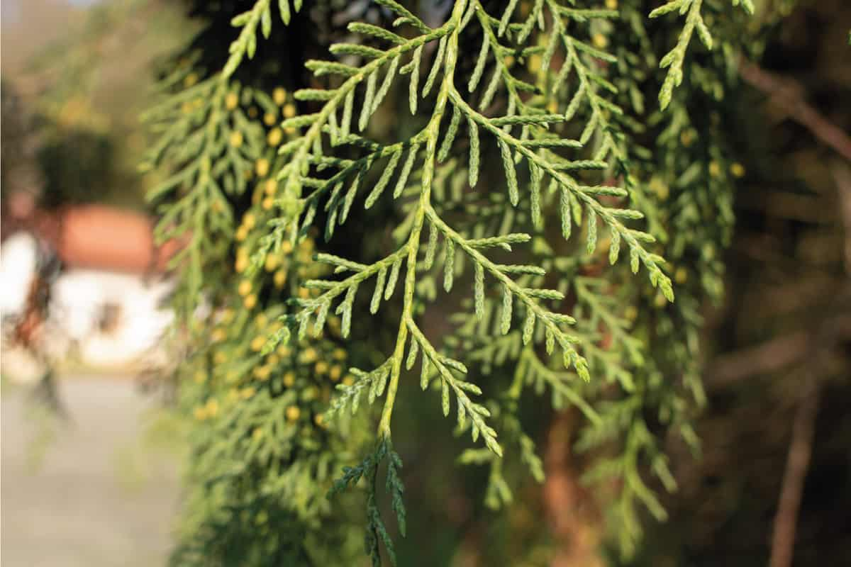 Photo of the leaves of the tree, which is the Thuja standishii in Latin.