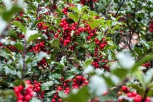 Read more about the article How And When To Prune A Holly Bush
