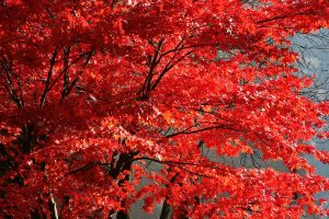 Read more about the article Do Maple Trees Need Full Sun? [By Type Of Maple]