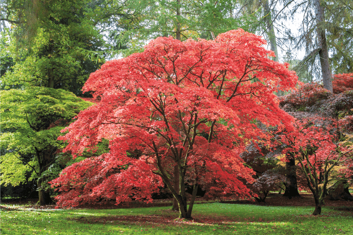 Red, orange and brown leaves adorn this Japanese Maple