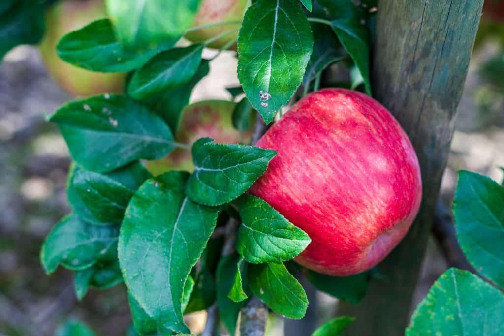Ripe apples honeycrisp on apple tree branch