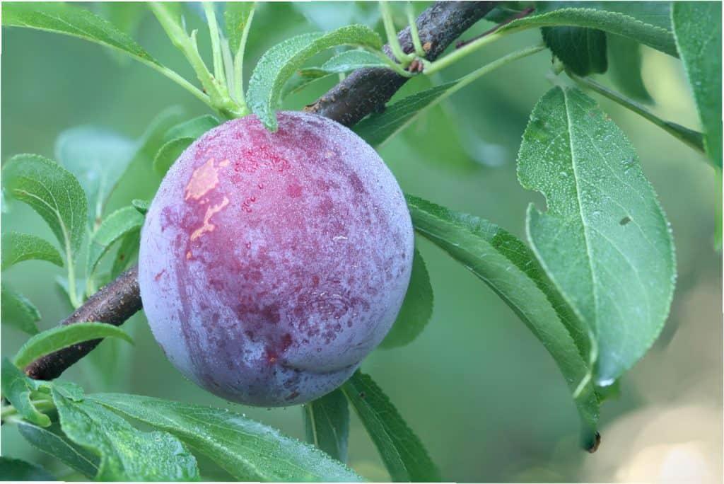 Ripe fruit of a Japanese plum
