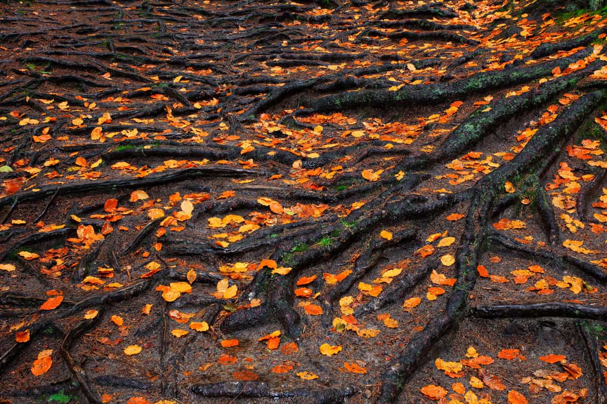 Roots of the maple tree with orange autumn leaves