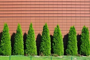 Read more about the article How Fast Do Arborvitae Grow?
