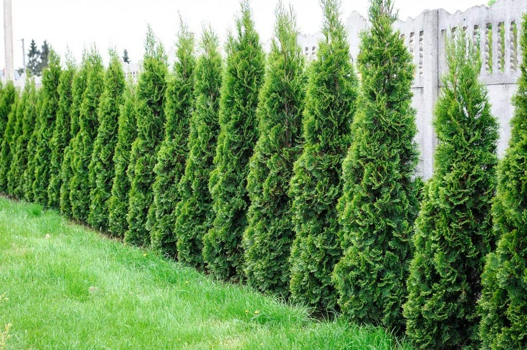 Row of thuja trees in the garden