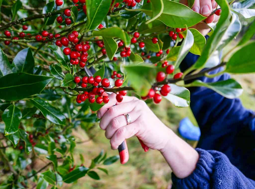 Woman reaching up with secateurs to cut twigs of green holly with bright red berries