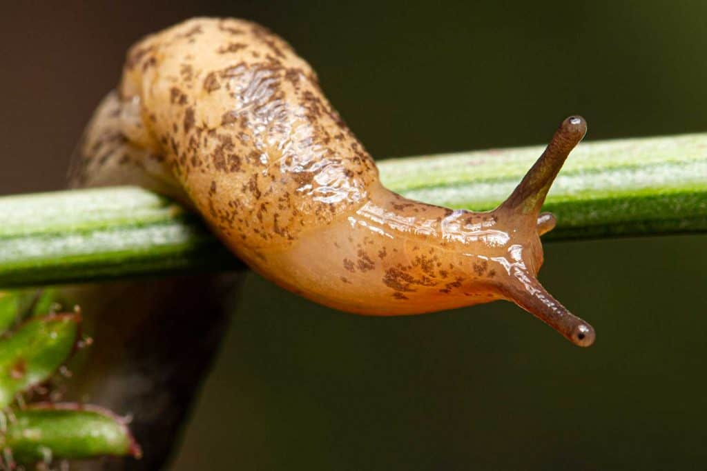 Slug on a stem of a plant