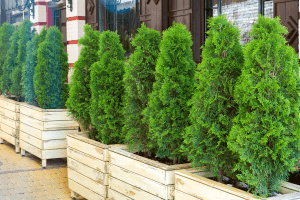 Read more about the article Arborvitae Tree Going Brown And Dying – What To Do?
