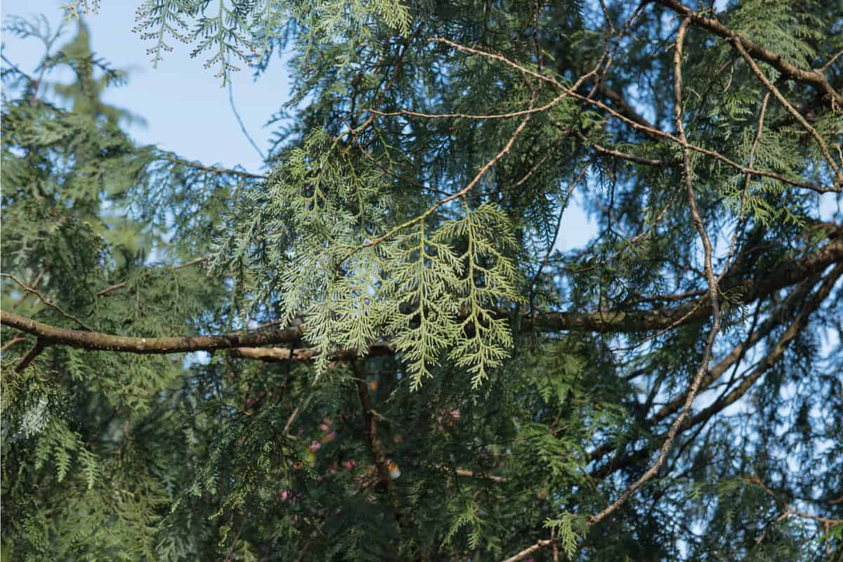 Spring Foliage of an Evergreen Coniferous Korean Arborvitae Tree (Thuja koraiensis) in a Park with a Bright Blue Sky Background