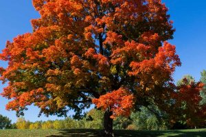 Read more about the article Maple Tree Is Dying – What To Do?