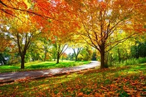 Read more about the article Do Maple Trees Kill Grass?