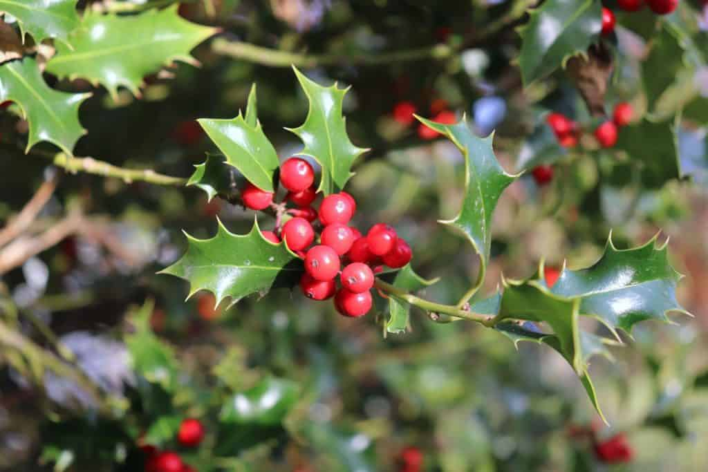 The berries of a Christmas holly glowing brightly on the sun