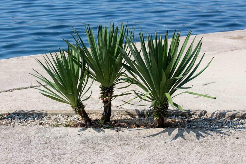 Three small Yucca perennial tree plants with long evergreen tough sword shaped leaves growing next to concrete sidewalk and calm blue sea