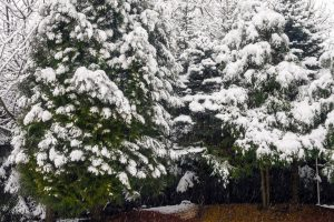 Read more about the article Should You Wrap Arborvitae For Winter?