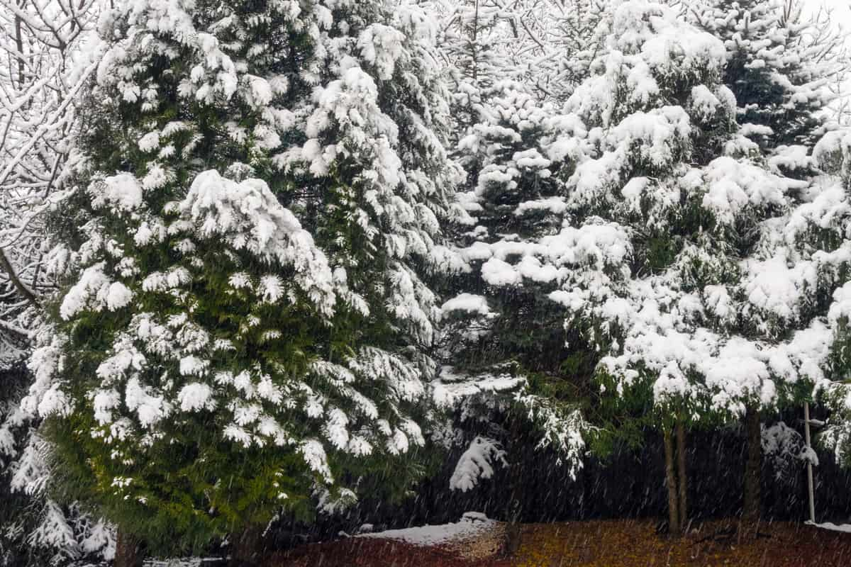 Thuja covered by snow, Should You Wrap Arborvitae For Winter?
