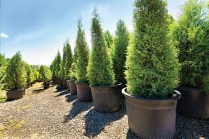 Read more about the article Do Arborvitae Have Invasive Roots?