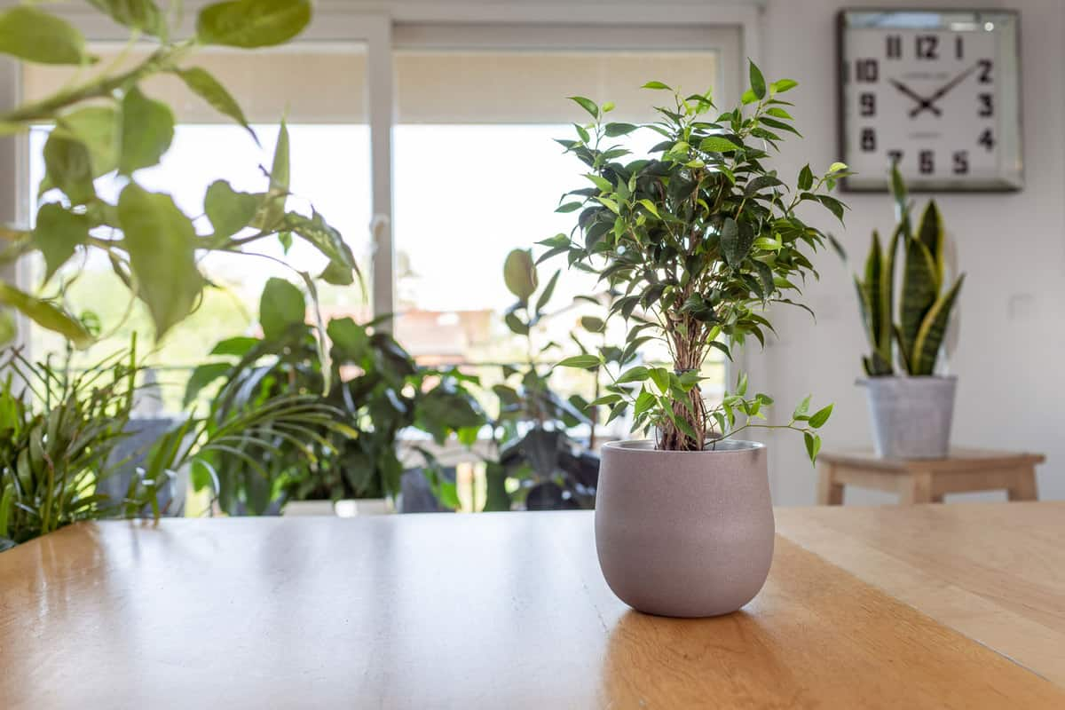 Weeping fig (Ficus benjamina) on wooden table. Nice and modern space of home interior, Best Soil For Weeping Fig & Recommended Pots And Containers