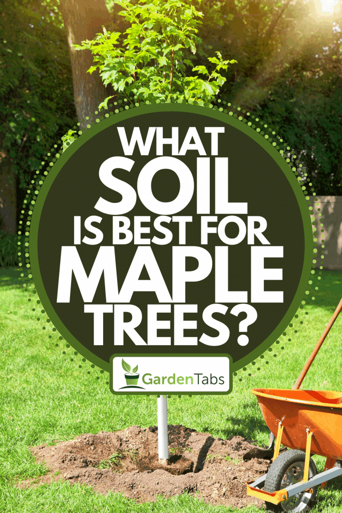 Planting a maple tree with hole and shovel, What Soil Is Best For Maple Trees?