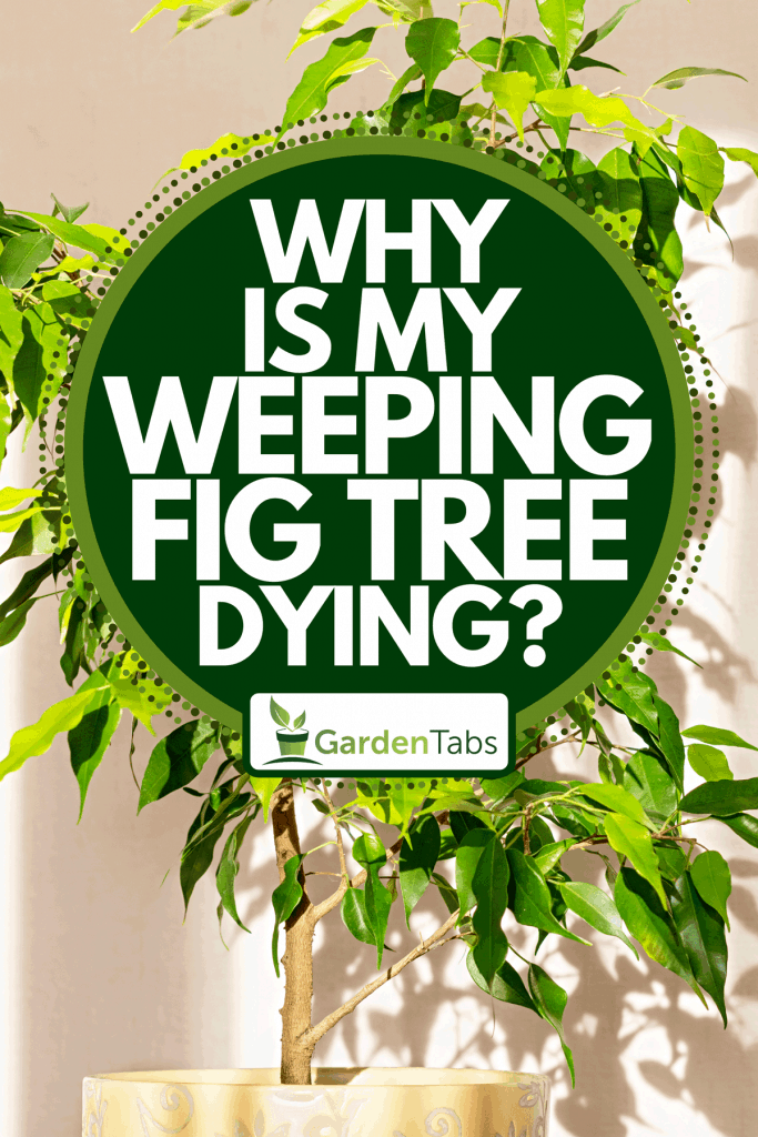 Benjamin ficus tree in a yellow ceramic flower pot, Why Is My Weeping Fig Tree Dying?