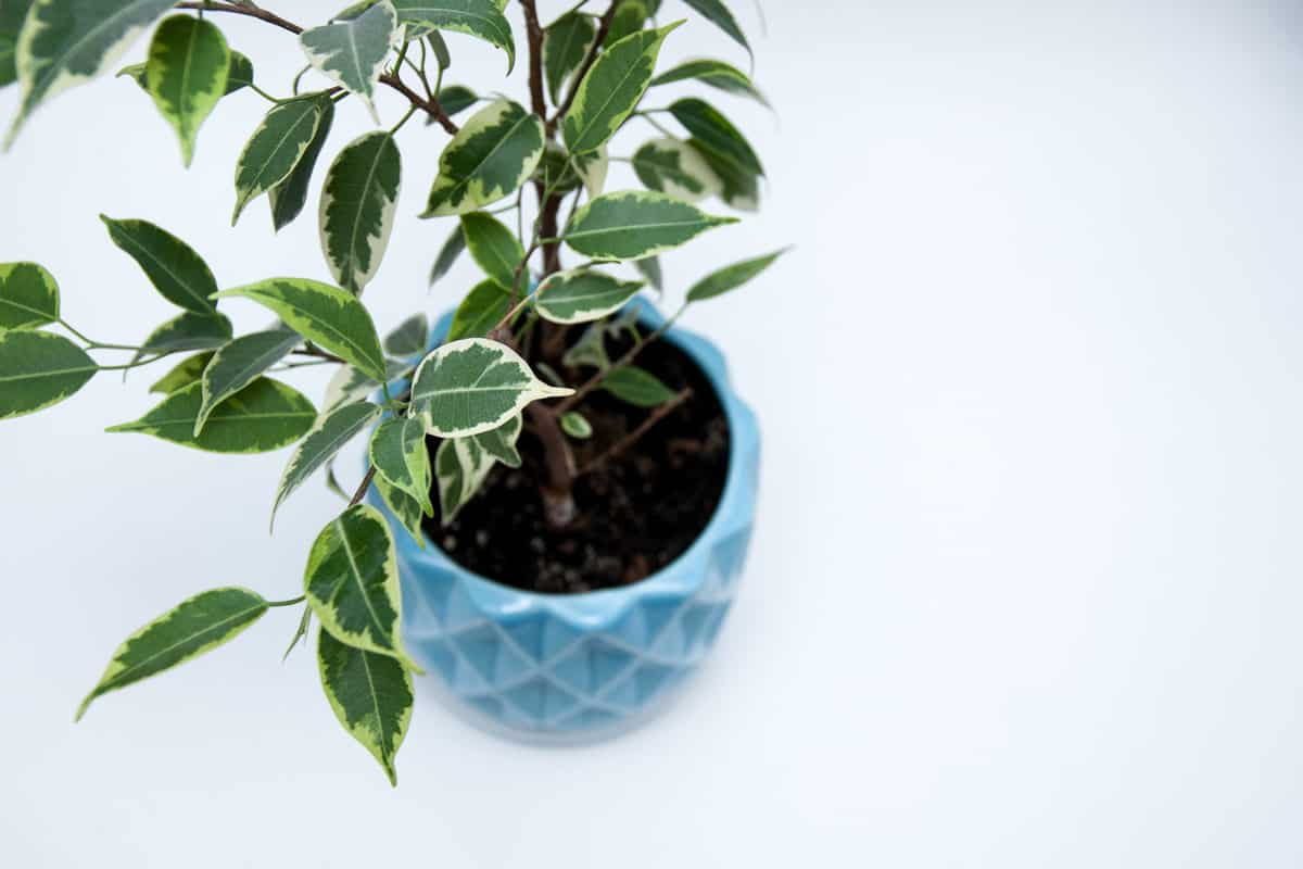 Young Ficus benjamina in a blue pot on a white background