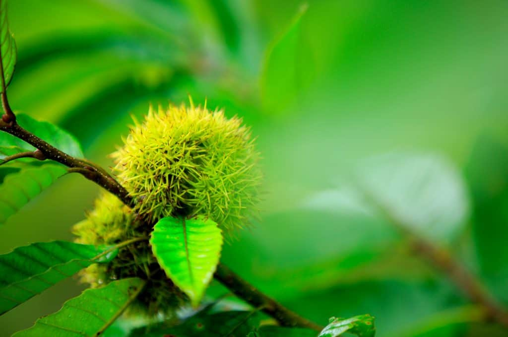 chinese chestnuts fruit grow on tree