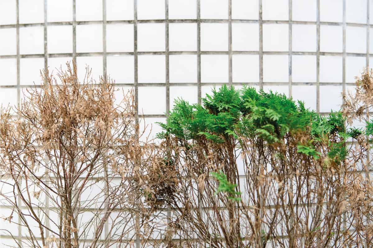 dry with green cypress foliage
