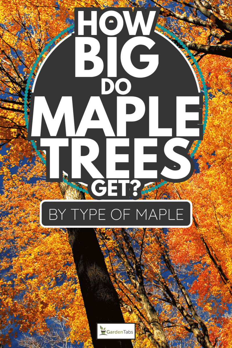 fall maple trees on a bright sunny day. How Big Do Maple Trees Get [By Type Of Maple]