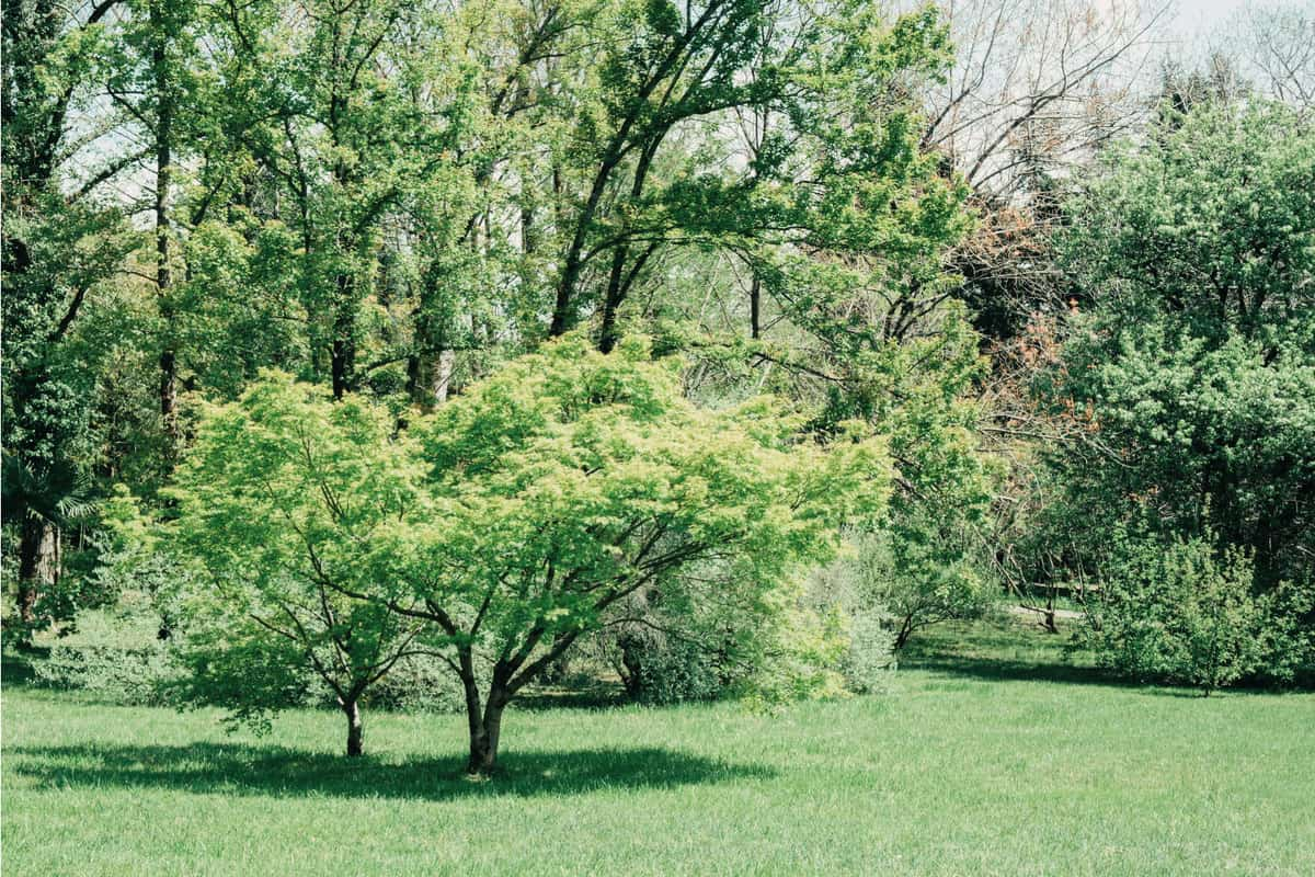 green maple japanese or Acer japonicum standing in a mini forest