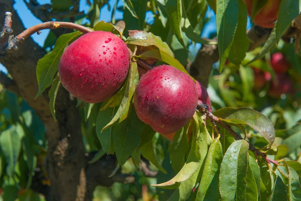 new variety of nectarines they are bigger and more flash with a great color and flavor
