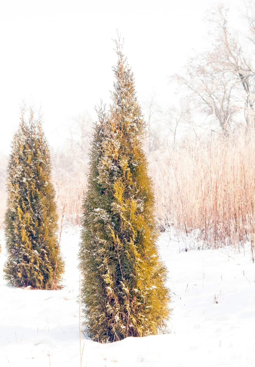 thuja covered by snow