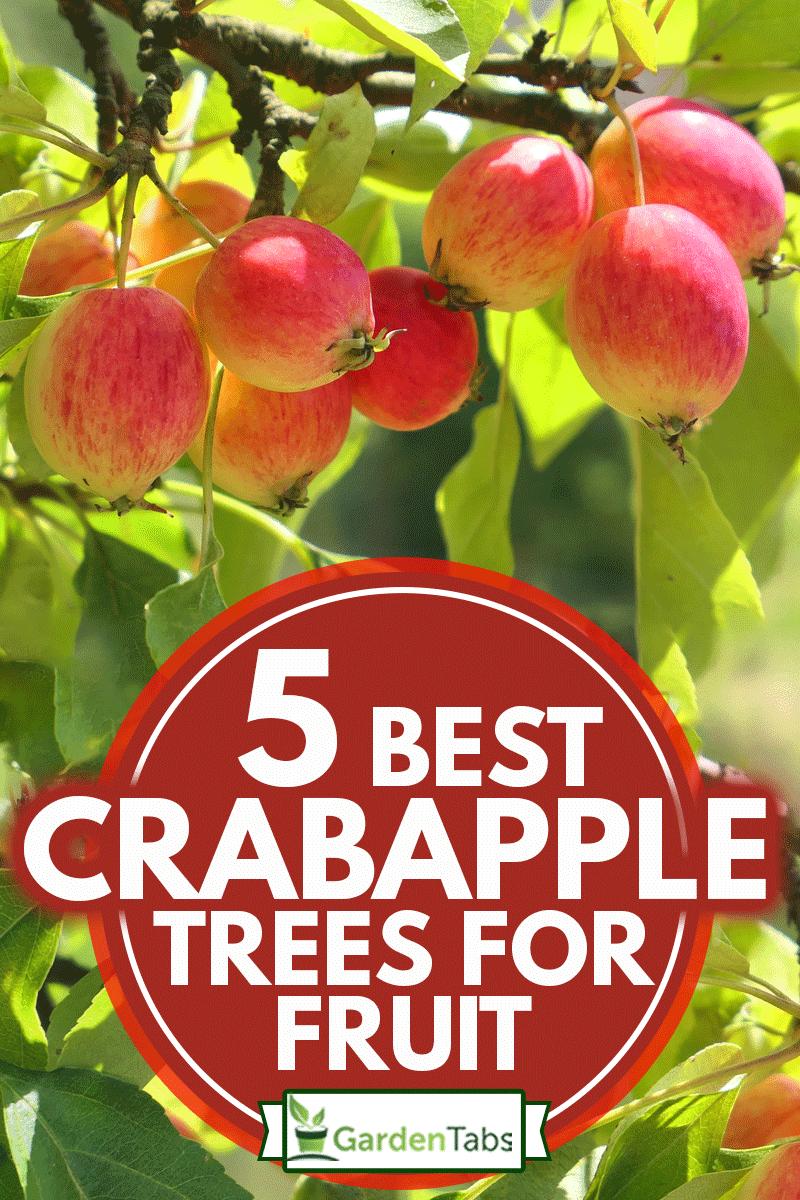 Crabapple tree full of apple fruits, 5 Best Crabapple Trees For Fruit