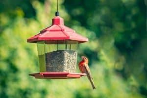 A House Finch at a feeder outdoors in Pennsylvania, Where To Place A Bird Feeder In The Garden